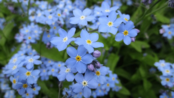 Forget-Me-Not Flower Care