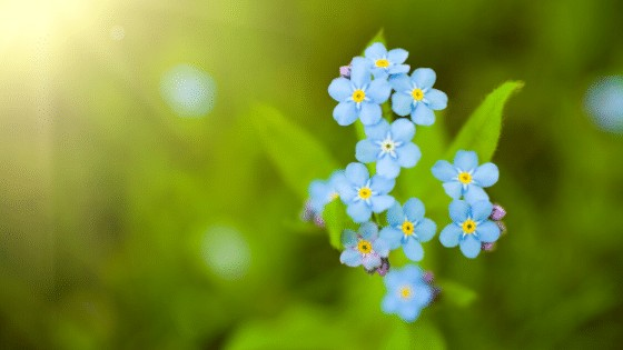 Forget-Me-Not Flowers are just stunningly beautiful