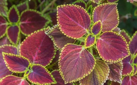 Purple Waffle Plant (Hemigraphis alternata)