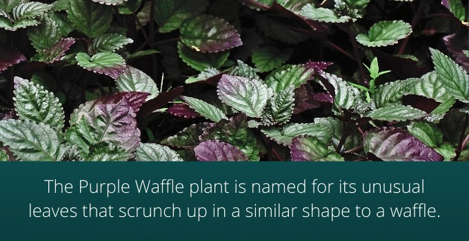 Purple Waffle Plant Name Origin