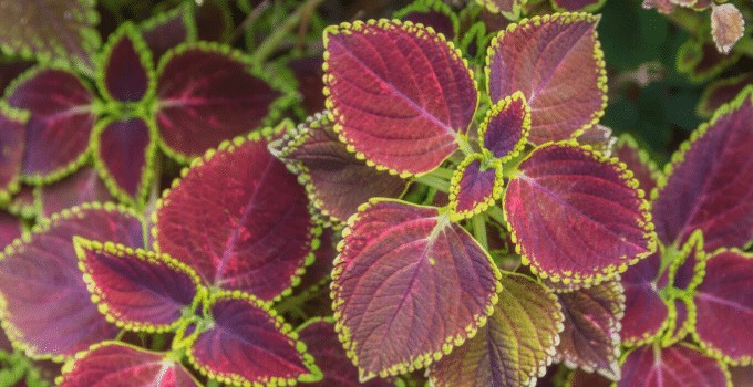 The Ultimate Purple Waffle Plant Care Guide