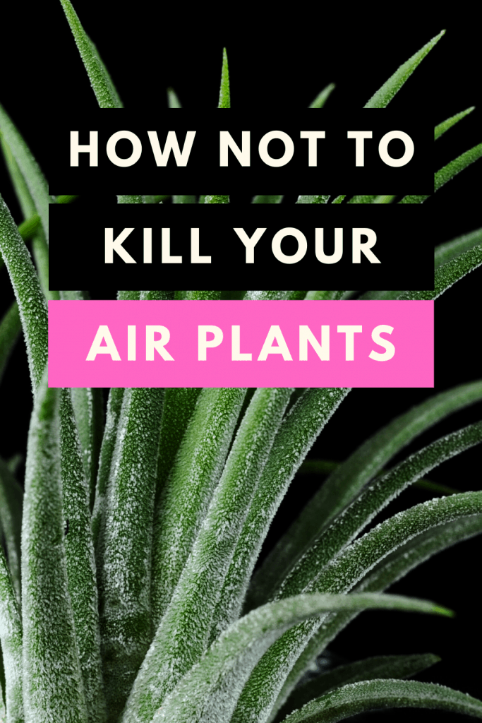 How NOT to kill your air plants