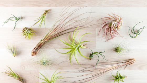 How to water Air Plants - Soak them and let them dry upside down