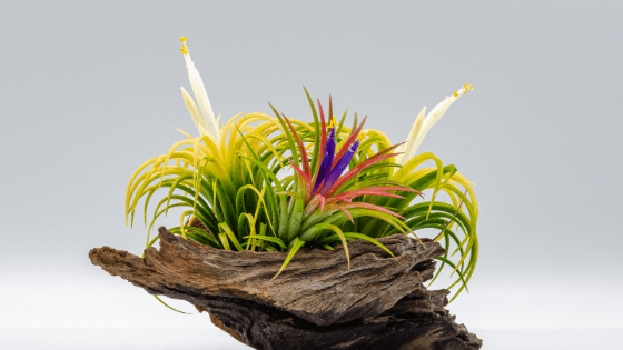 How to Water Air Plants – The Best 101 Guide