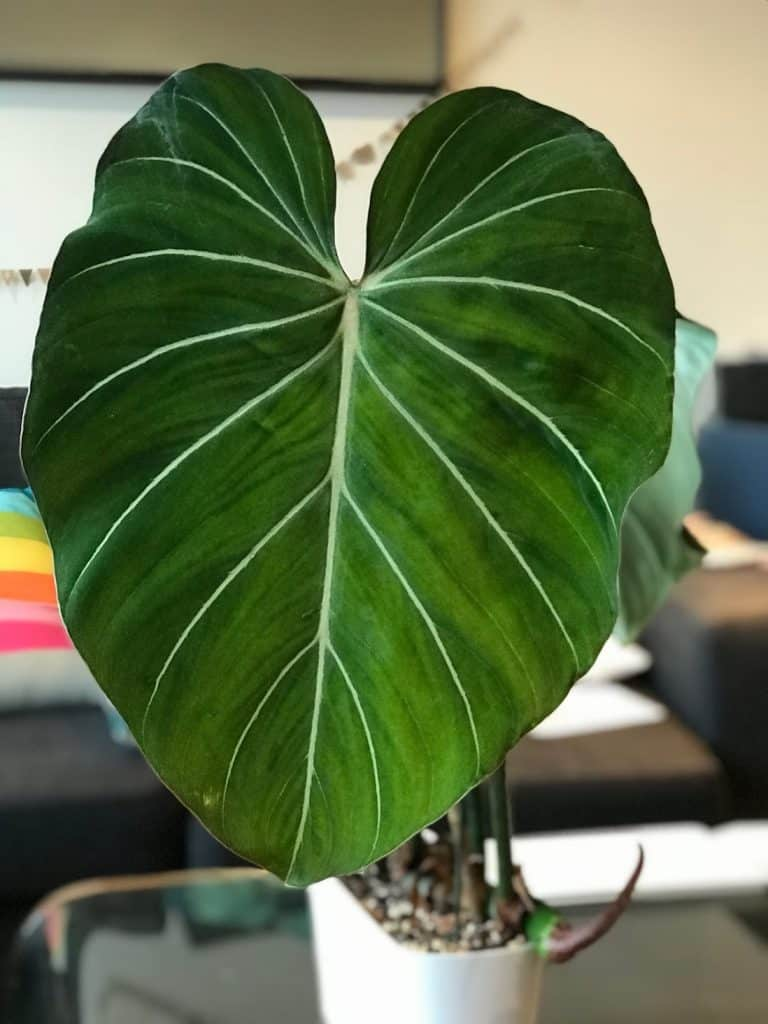 Philodendron Gloriosum - A velvety piece of art!