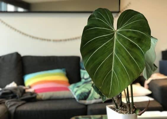 Philodendron Gloriosum Care
