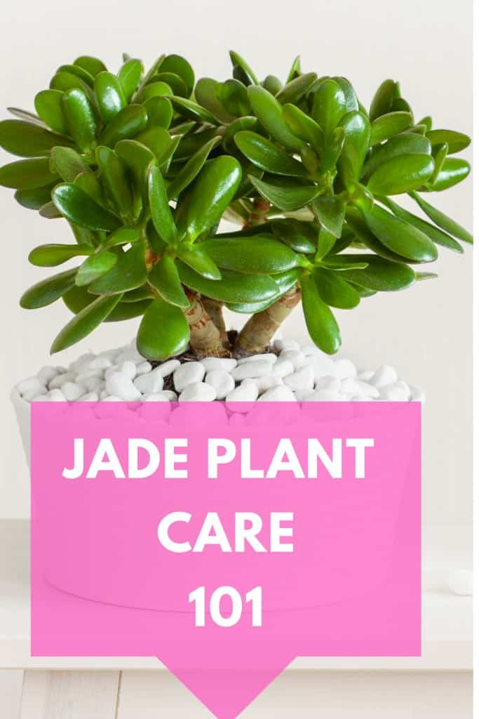 Jade Plant Care 101 Guide