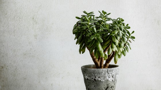 Jade Plant Care Best Tips 101