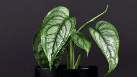 Monstera Siltepecana Plant Care Article