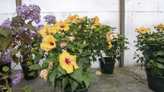 Potted up Hibiscus plants