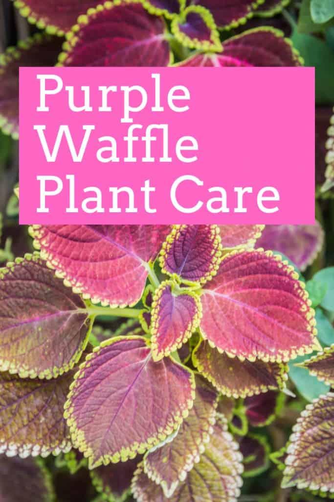 Purple Waffle Plant Care