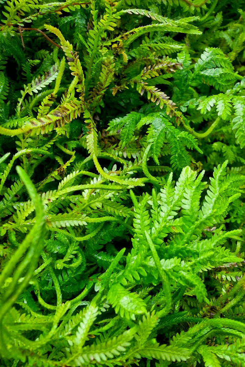 Selaginella kraussiana Native to Africa