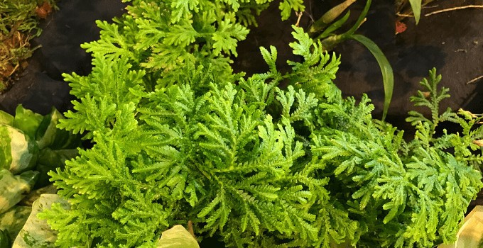 How NOT to Kill your Selaginella Kraussiana