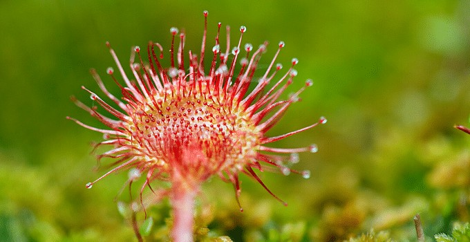 Sundew Plant Care Guide