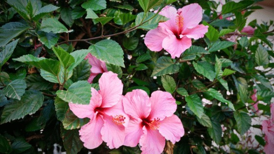 The Hibiscus Plant has stunning flowers