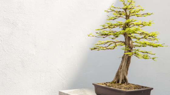 There are many different kinds of Bonsai trees