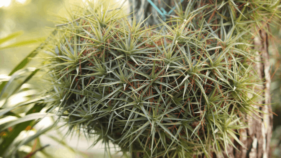 Tillandsia growing in its natural habitat