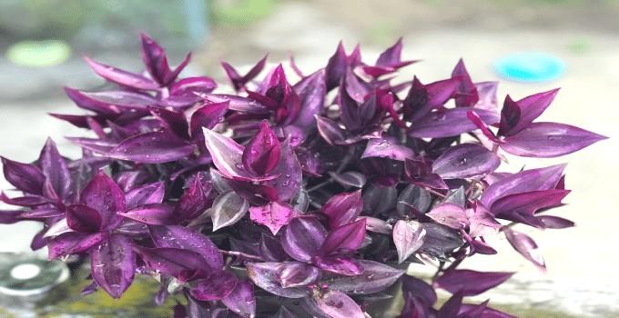 Tradescantia Zebrina (Wandering Jew) Plant