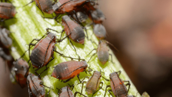 Aphids How To Get Rid Of Them Forever