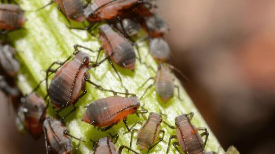 Aphids Plant Pest
