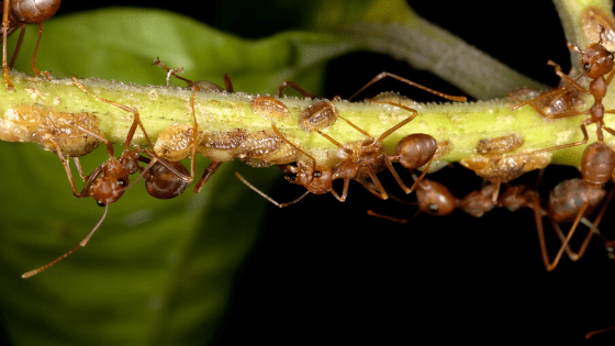Brown scale and ants on a plant