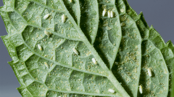 Whiteflies on the underside of a houseplant leaf