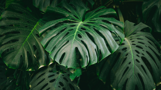 Mature leaves on a Monstera Deliciosa