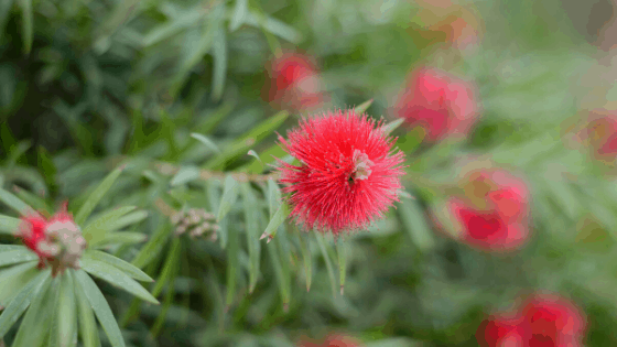 Inspect your bottlebrush tree regularly for diseases and pests.