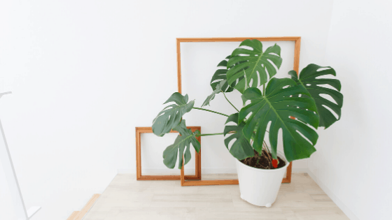 Monstera Deliciosa with splt leaves on a table