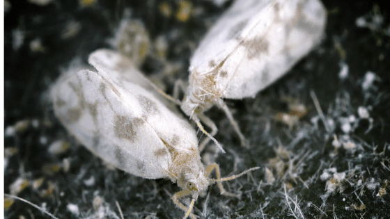 Whitefly closeup
