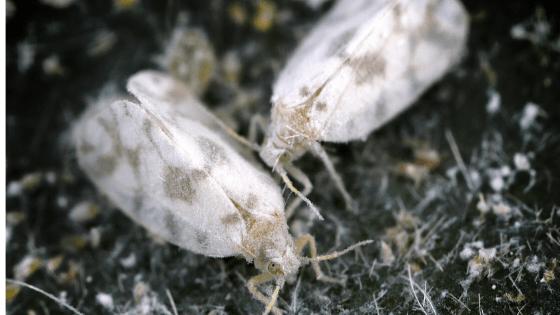 Whitefly closeup
