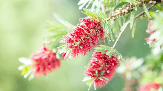 Bottlebrush Tree flower spikes