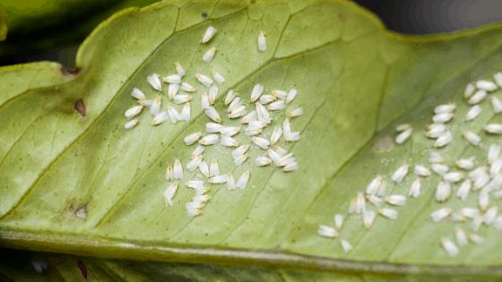 Whitefly infestation