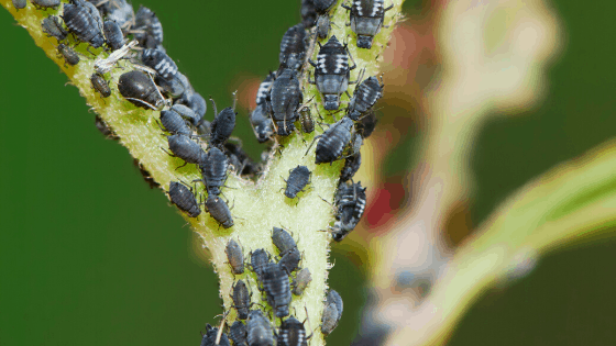 Aphids How To Get Rid Of Them Forever 1