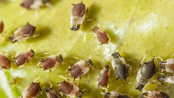 Aphid infestations can threaten the health of your plant