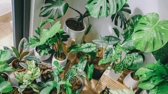 Multiple Monstera species amongst other houseplants