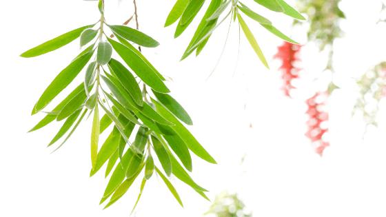 The bottlebrush plant is native to Australia