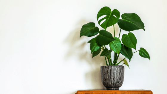 Provide a moss pole or any other way for a Monstera to climb and produce bigger split leaves