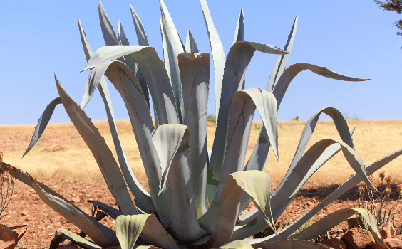 The Century Plant Agave americana