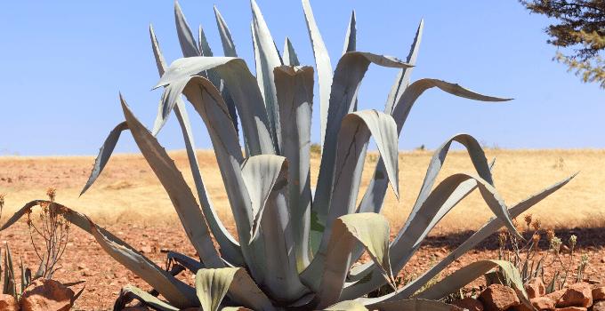 The Century Plant Agave americana