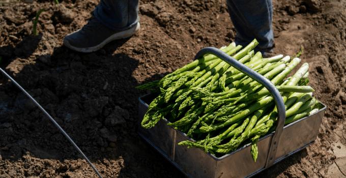 Asparagus Harvesting