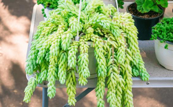Burro's Tail (Sedum morganianum) Plant