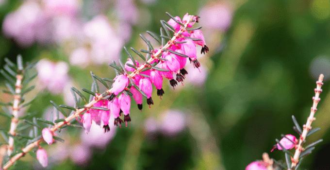 Calluna vulgaris Heather Plant