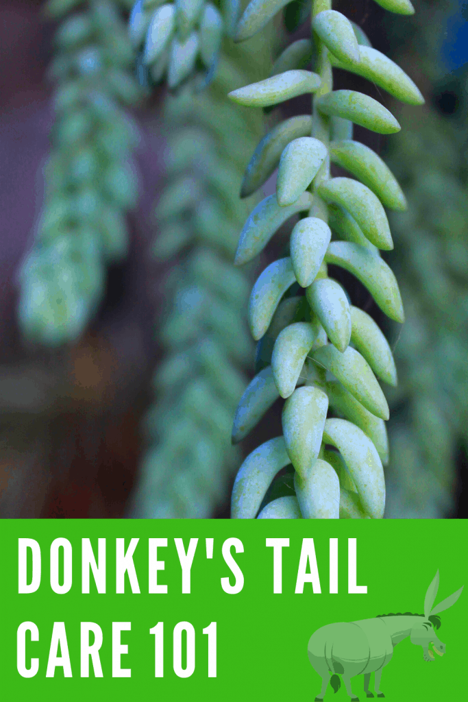 Donkey's Tail Care 101