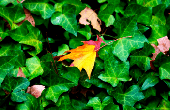 English Ivy Hedera Helix Care