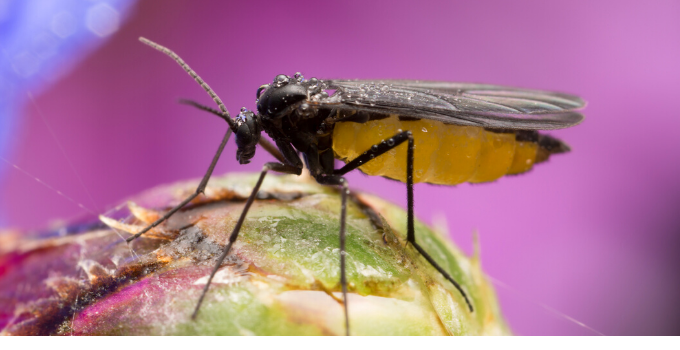 Fungus Gnats: How To Get Rid of Sciaridae