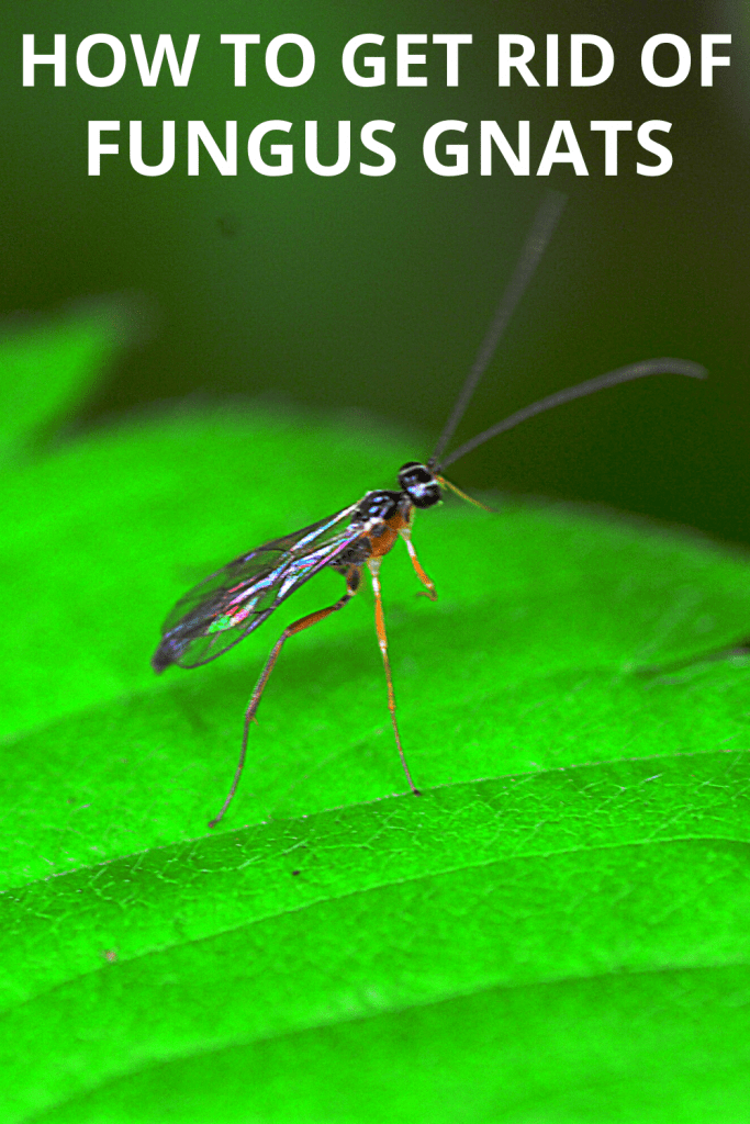 Fungus Gnats: How To Get Rid of these Pesky Pests