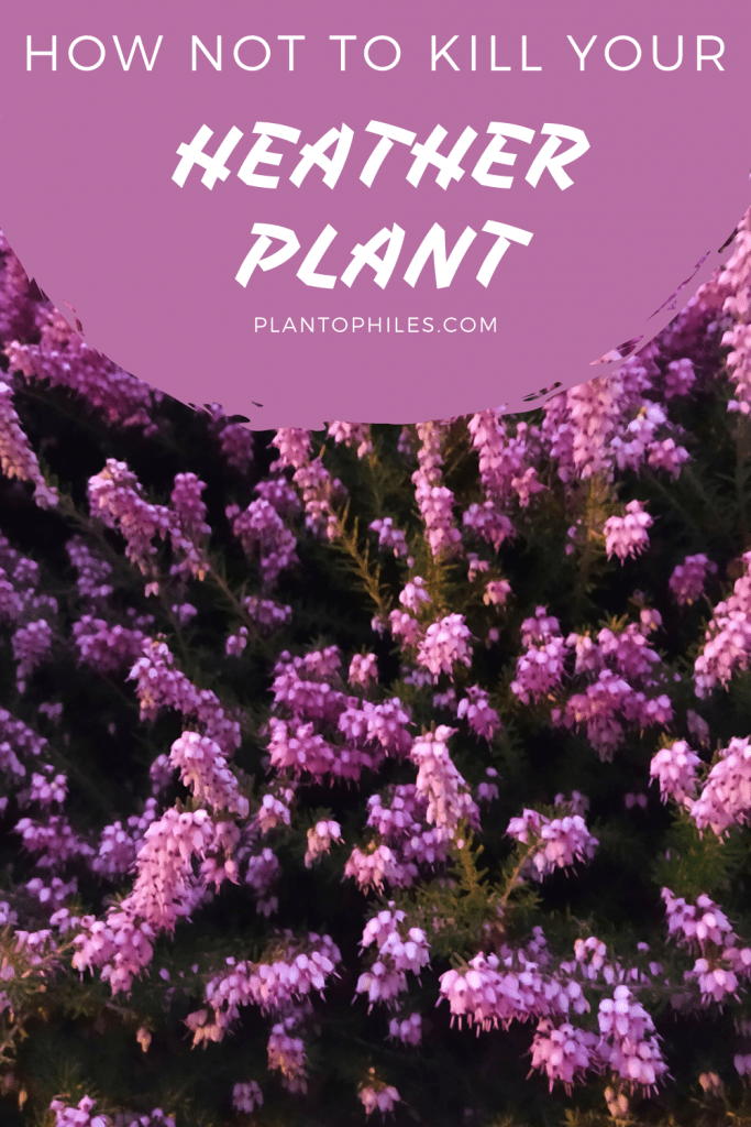 Heather Plant Care