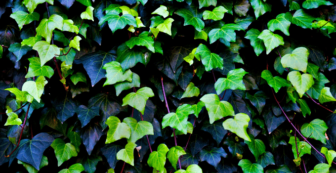 #1 English Ivy (Hedera Helix) Best Care Hacks 1