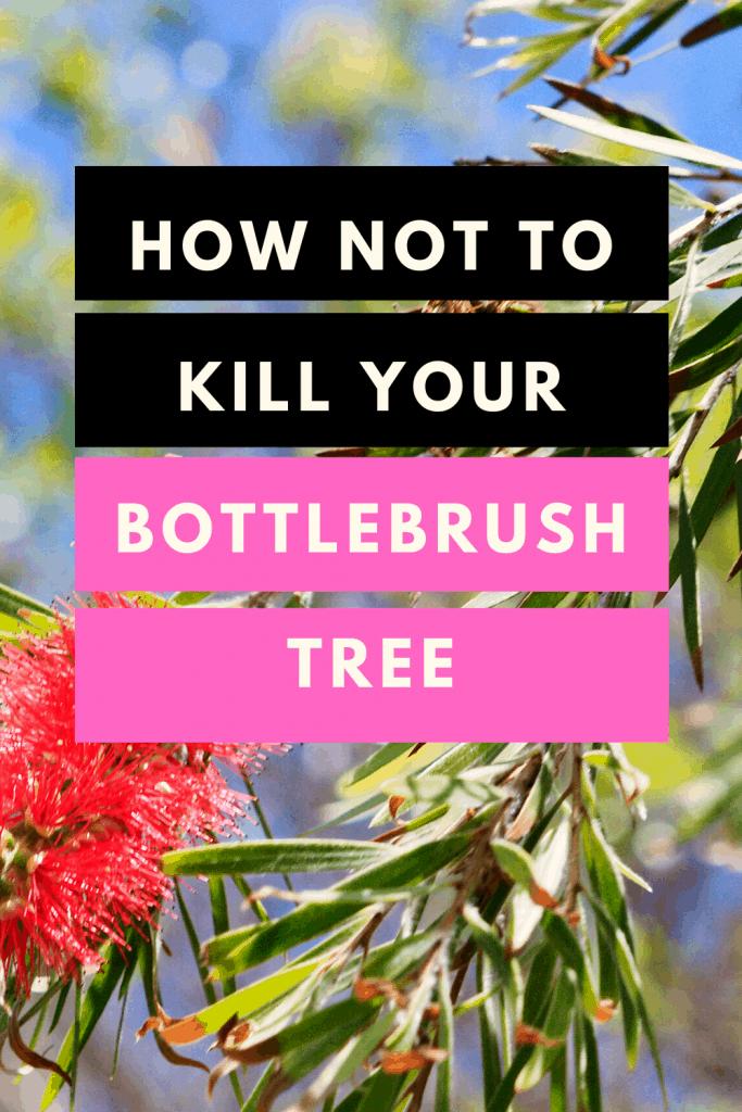 How Not To Kill Your Bottlebrush Tree